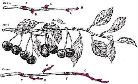 Ветка кустовидной вишни