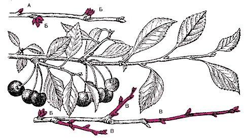 Ветка древовидной вишни