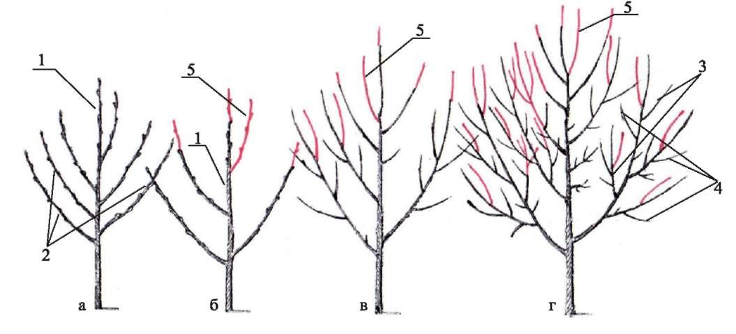 формирование кроны молодой яблони схема фото дизайна