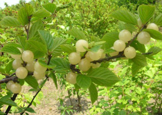 Войлочная вишня сорт Белая