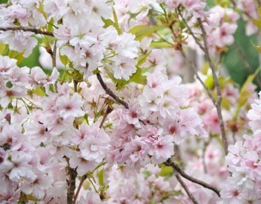 Цветы Весеннего каприза