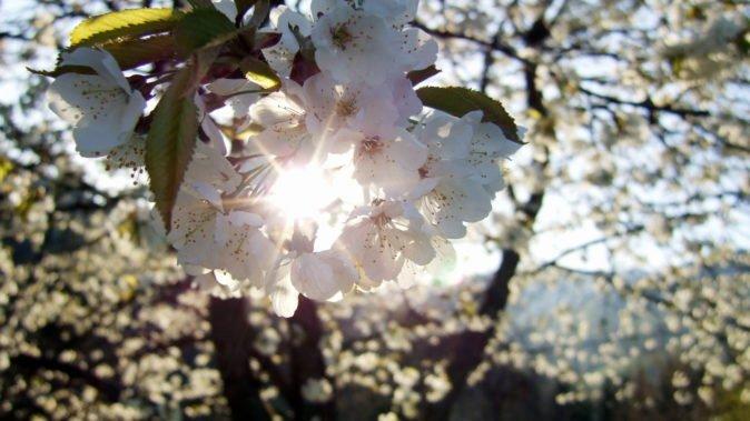 Цветение сорта Утреннее облако