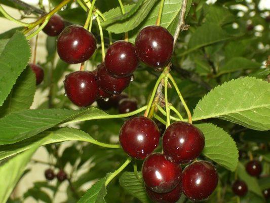 Ягоды вишни Чернокорка на ветках