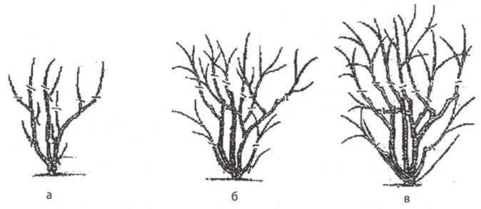 Схема обрезки вишни войлочной