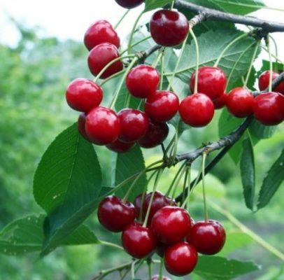 Плоды сорта вишни Малиновка