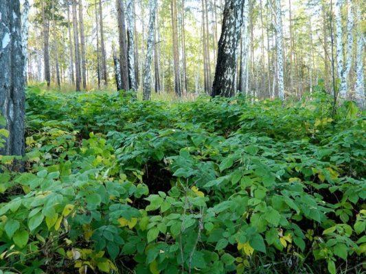Малинник в лесу