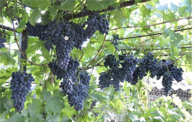 Спелый виноград сорта Надежда АЗОС