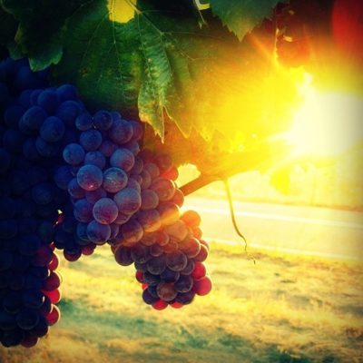 Грозди винограда на солнце