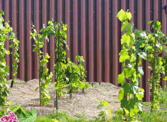 Виноградные саженцы у забора