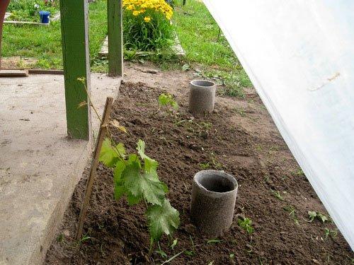 Труба для полива саженца винограда