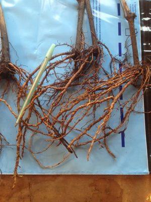 Корневая система саженца винограда