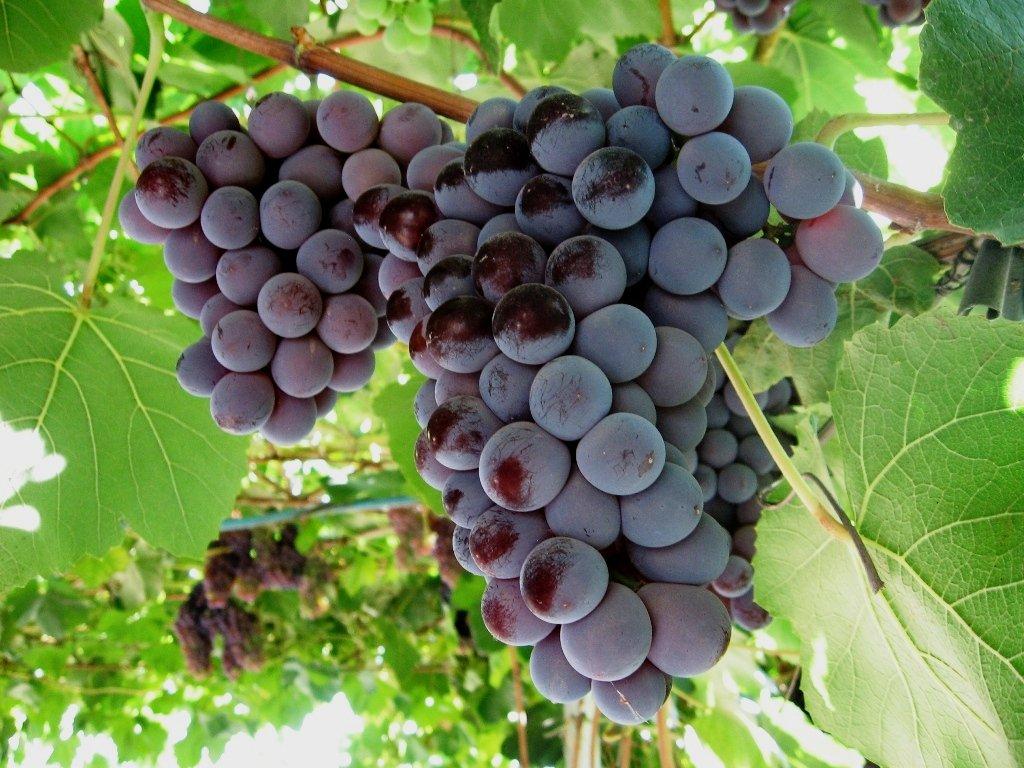лидия виноград описание и отзывы фото прорисовать места