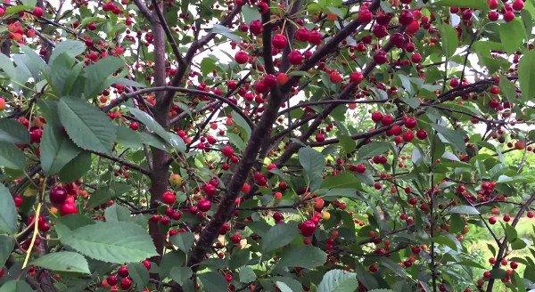 Дерево вишни Вянок с созревающими ягодами