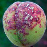 Ягода абрикоса, поражённая клястероспориозом