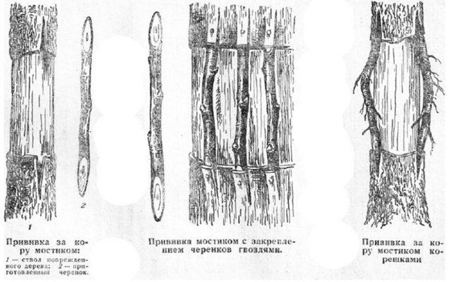 Рисунок способов прививки мостиком