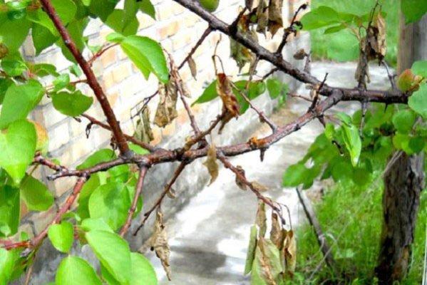 Листья и побеги абрикоса, поражённые монилиозом