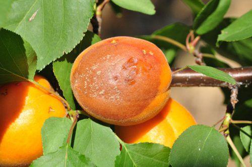 Гниющий на ветке абрикос