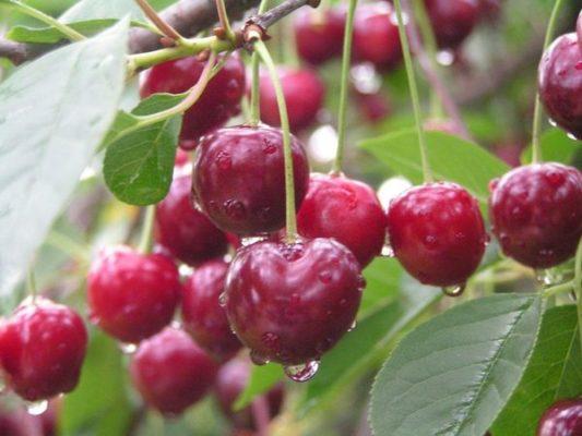Ягоды вишни Волочаевка на ветке
