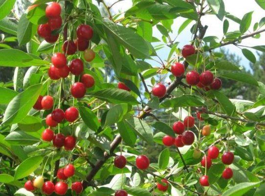 Ягоды вишни сорта Сеянец №1 на дереве