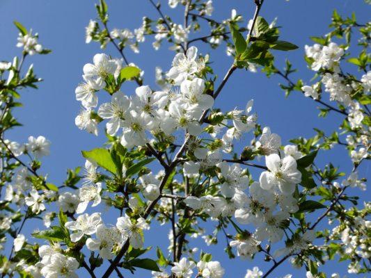 Цветущая вишня Любская