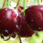 Плоды Чудо-вишни