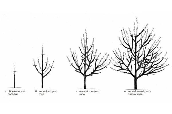 Схема обрезки абрикоса в первые годы жизни