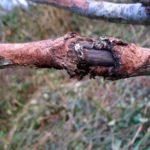 Ветка абрикоса, поражённая цитоспорозом