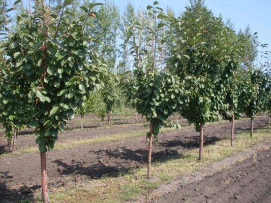 Участок для выращивания вишни-дюка