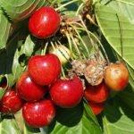 Ягоды вишни, поражённые монилиозом