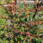 Дерево вишни поражённое монилиозом