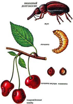 Рисунок: вишнёвый долгоносик; его личинка; повреждённые ягоды
