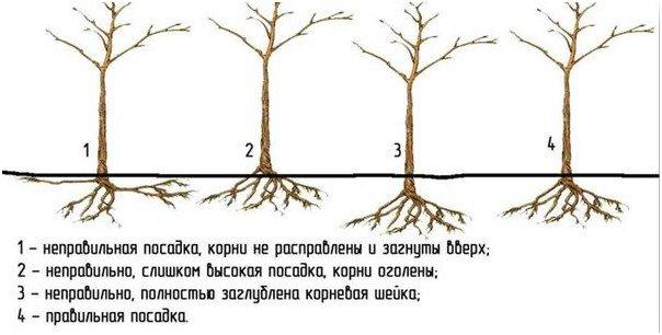Рисунок правильной и не правильной посадки вишни