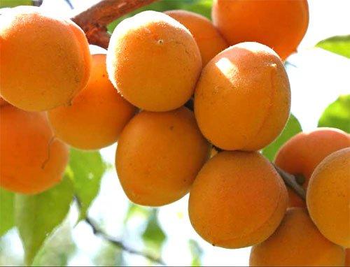Ягоды абрикоса Триумф северный на ветке