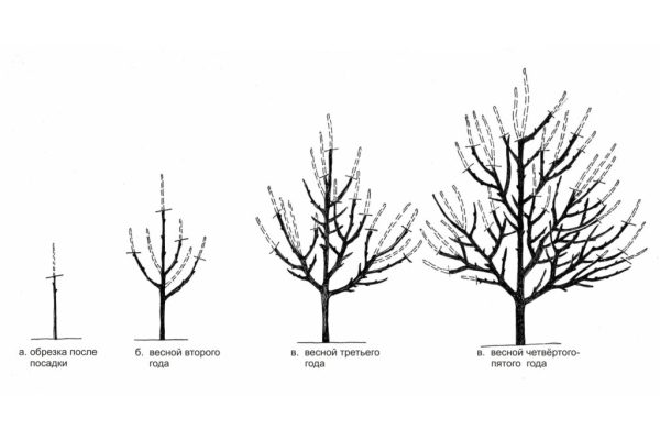 Схема формирующей обрезки абрикоса
