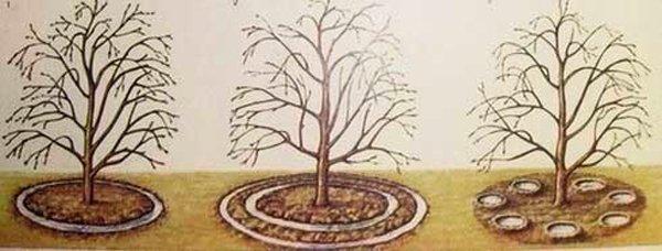 Полив вишни в приствольный круг