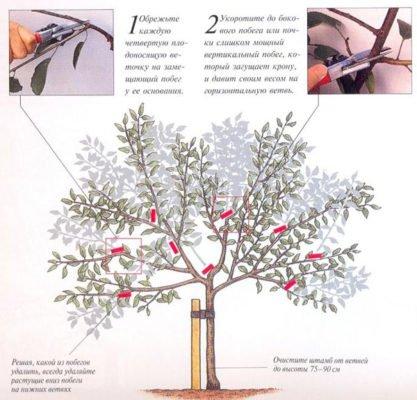 Схема формирующей обрезки вишни-дюка