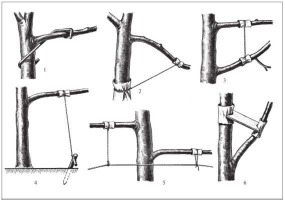 Отклонение ветвей вишни-дюка