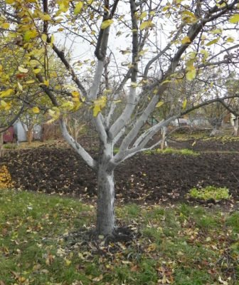 Побелка дюков осенью