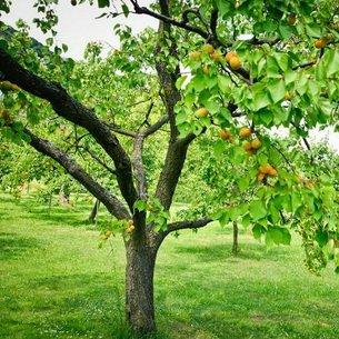 Абрикос Царский невысокое дерево