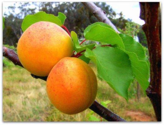 Плоды абрикоса Царский