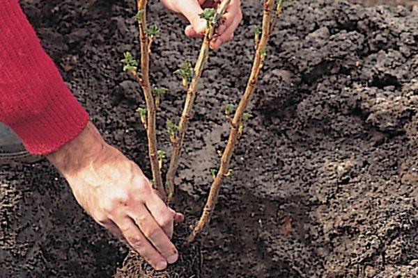 Высадка черенков смородины весной