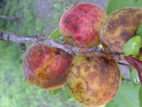 Ягоды абрикоса, поражённые монилиозом