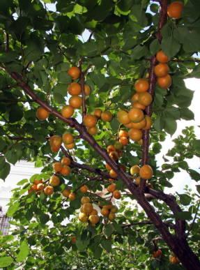 Ветка абрикоса Лель