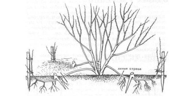 Схема размножения жимолости отводками