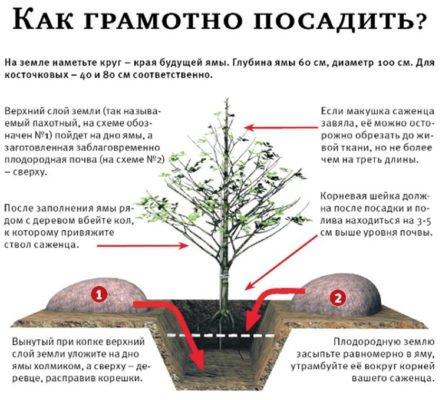 Как грамотно посадить абрикос