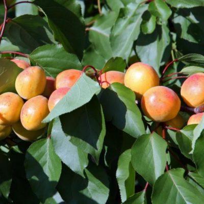 Ягоды абрикоса Графиня на ветке