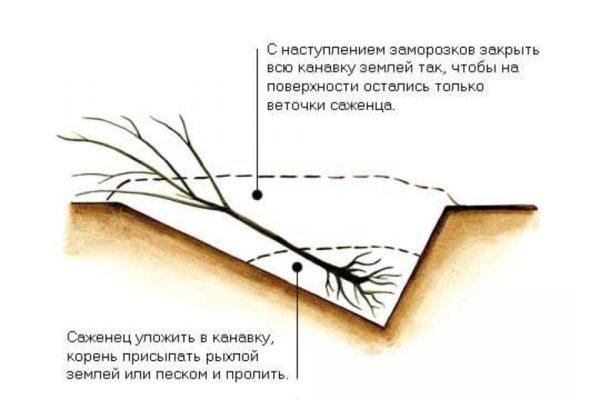 Рисунок: схема прикопки саженца