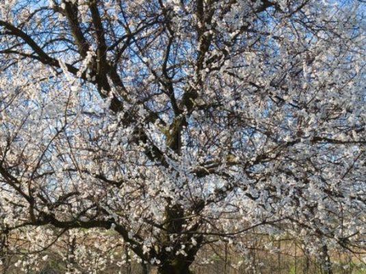 Цветущий абрикос Графиня