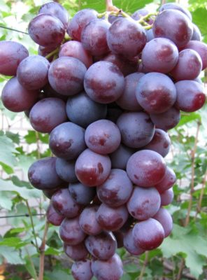 Виноград сорта НиЗина