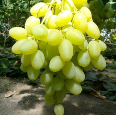 Виноград сррта Ландыш